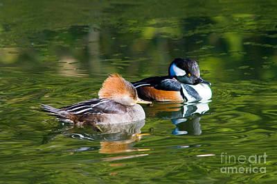 Zen - Hooded Merganser Ducks by Terry Elniski