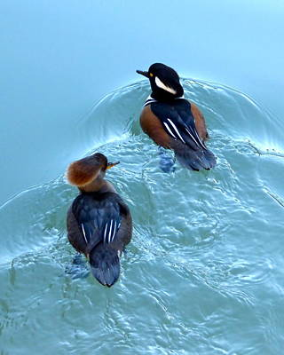 Photograph - Hooded Merganser Pair by Jean Wright