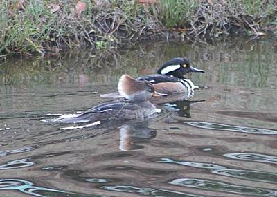 Photograph - Hooded Merganser Pair by Jeanne Kay Juhos