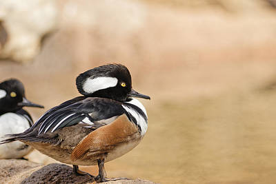 Photograph - Hooded Merganser by Peter Lakomy