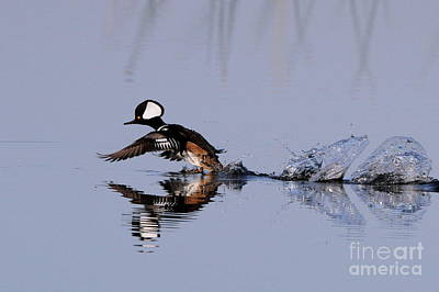 Hooded Merganser Take Off Art Print by Jennifer Zelik