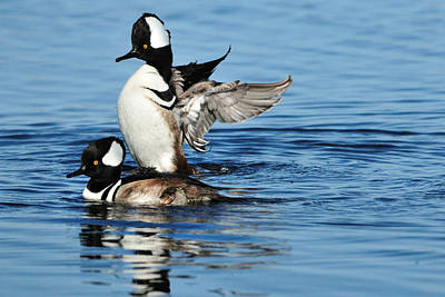 Photograph - Hooded Mergansers by Bradford Martin