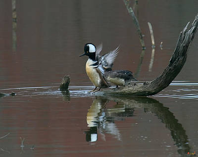 Photograph - Hooded Mergansers Dwf017 by Gerry Gantt