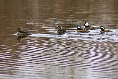 Photograph - Hooded Mergansers IIi by Joe Faherty