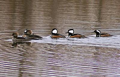 Photograph - Hooded Mergansers Iv by Joe Faherty
