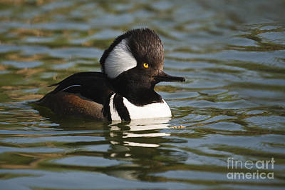 Photograph - Hooded Merganzer by Ronald Lutz