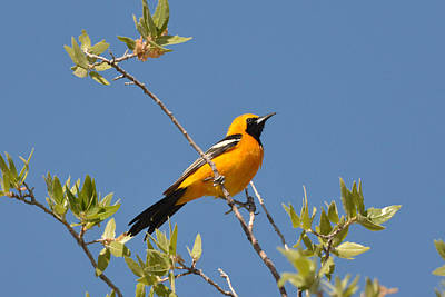 Photograph - Hooded Oriole by Alan Lenk