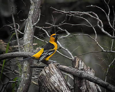 Photograph - Hooded Oriole by Gary Neiss