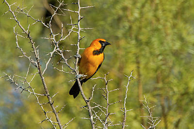 Starr Photograph - Hooded Oriole (icterus Cuculatus by Larry Ditto