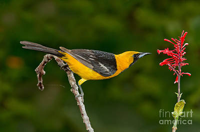 Nectaring Bird Photograph - Hooded Oriole Male At Red Flower by Anthony Mercieca