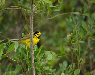 Photograph - Hooded Warbler by Julie Andel