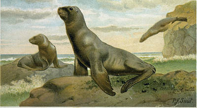 Sea Lion Drawing - Hookers Sea Lion by English School
