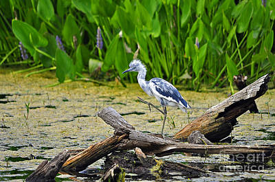Pickerel Photograph - Hooligan Heron by Al Powell Photography USA