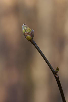 Photograph - Hope - A Tree Bud by Jane Eleanor Nicholas