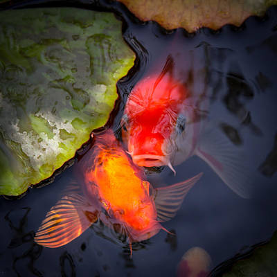 Goldfish Photograph - Hopeful Faces by Priya Ghose