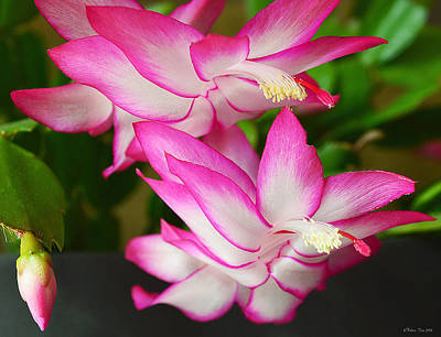 Winter Blooming Houseplant Photograph - Hopeful For You by Felicia Tica