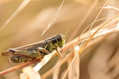 Grasshopper Wall Art - Photograph - Hopper In Golden Grass by Shane Holsclaw