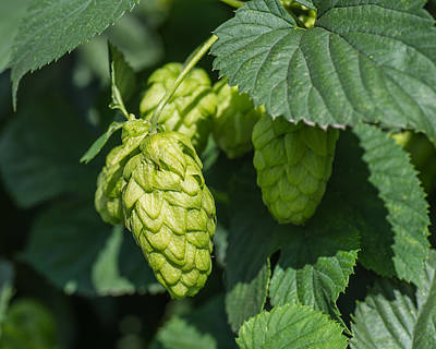 Hop Photograph - Hops For Beer by Priya Ghose