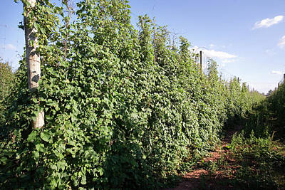Hop Photograph - Hops (humulus Lupulus) by Adam Hart-davis/science Photo Library