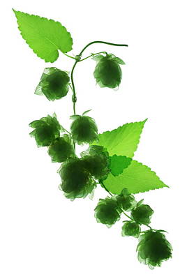 Hop Photograph - Hops (humulus Lupulus) by Gustoimages/science Photo Library