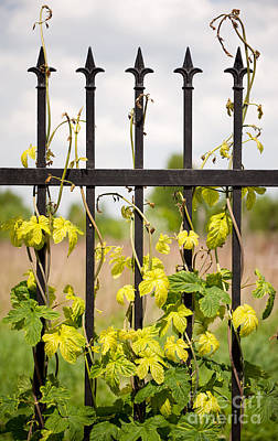 Climbing Humulus Or Hop Growing On Steel Fence Art Print by Arletta Cwalina