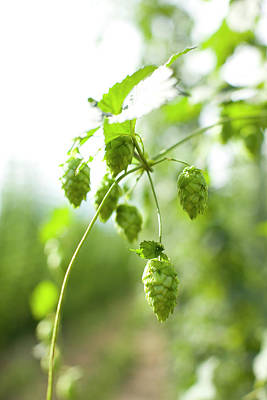 Photograph - Hops Still On The Vine by Woods Wheatcroft