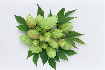 Hop Photograph - Hops by Th Foto-werbung/science Photo Library