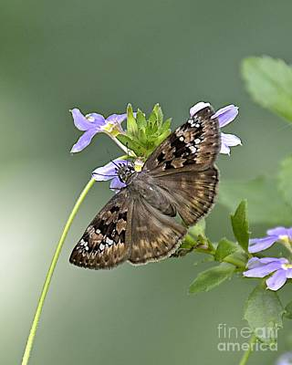 Photograph - Horace's Duskywing Butterfly by Carol  Bradley