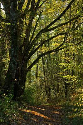 Hornbeam Woodland Art Print by Bob Gibbons