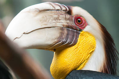 Photograph - Hornbill Bird Portrait Closeup by Alex Grichenko