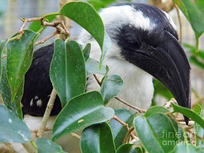 Photograph - Long Eyelashes On A Hornbill by D Hackett