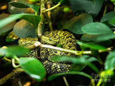 Photograph - Horned Bush Viper by Steven Parker