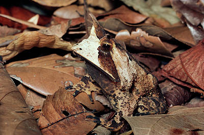 Forest Floor Photograph - Horned Frog Camouflaged In Leaf Litter by Michael and Patricia Fogden