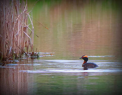 Horned Grebe Art Print by Marcus Moller