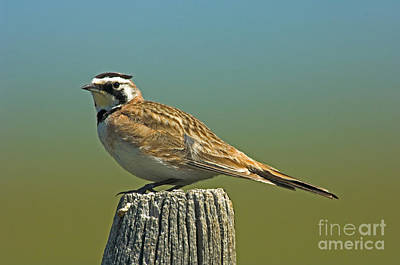 Horned Lark Eremophila Alpestris Print by Anthony Mercieca