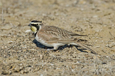 Horned Lark Feeding Print by Anthony Mercieca