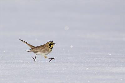 Horned Lark Running Across The Snow Art Print