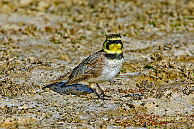 Horned Lark Showing Horns Print by Anthony Mercieca