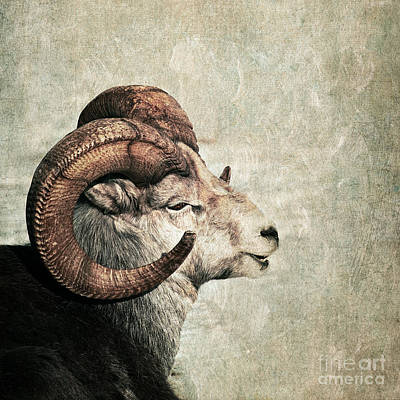 Ram Horn Photograph - Horned by Priska Wettstein
