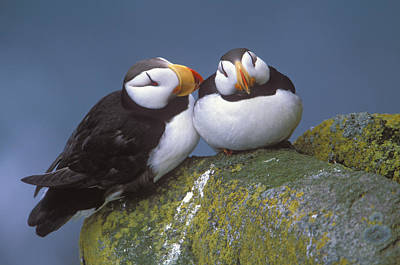 Ledge Photograph - Horned Puffin Pair Perched On Ledge by Milo Burcham