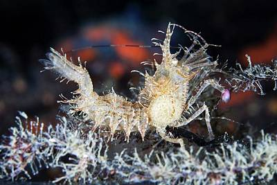 Prawn Photograph - Horned Shrimp by Alexander Semenov