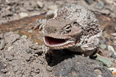 Photograph - Horned Toad Smiling by Kathleen Bishop