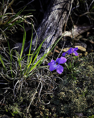 Photograph - Horned Violets In Mixed Light by Michael Dougherty