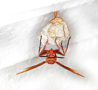 Hornet Preparing Paper Nest Art Print
