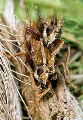 Hornet Robberflies Mating Art Print by Bob Gibbons