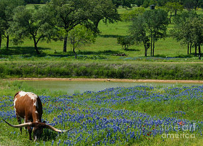 Photograph - Horns And Bluebonnets by Diana Black