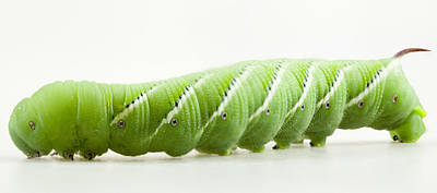 Photograph - Hornworm by John Crothers