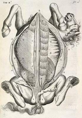Horse Anatomy, 17th-century Artwork Art Print