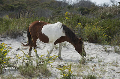 Photograph - Horse And Dunes Asseteague Island by Greg Vizzi