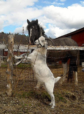 Photograph - Horse And Goat Friends by Ishana Ingerman